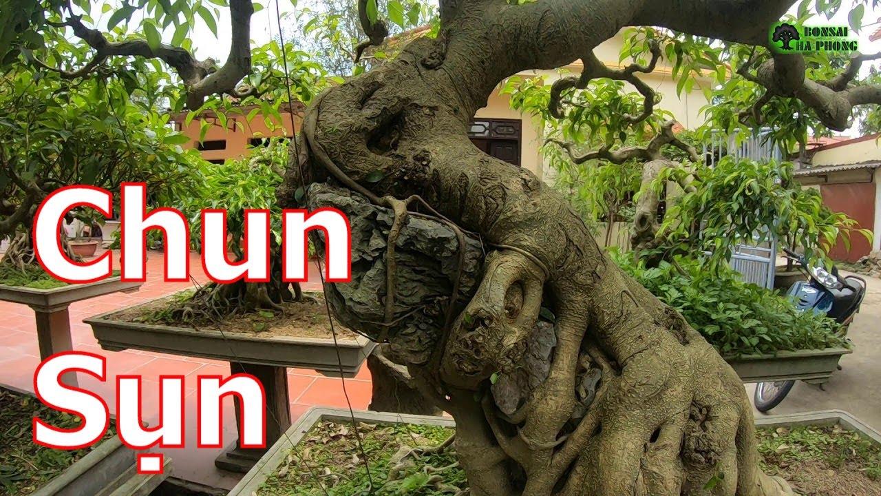 ✅Theo chú Hải giới thiệu vườn cây cảnh✔️BShp(Chú Hải 0392911352)