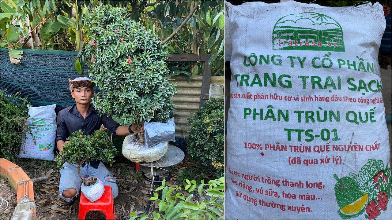 Trang vàng đỏ bonsai giá mềm và phân Trùng Quế GLTQ ngày 12/6 | Trần Linh