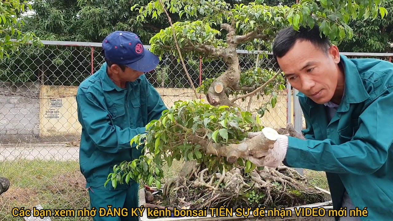 Ts654. CÂY CỔ CẮT SANG CÂY NGHỆ THUẬT .Tại Nhà Vườn TIẾN LUẬT ,Ninh Giang ,Hải Dương.