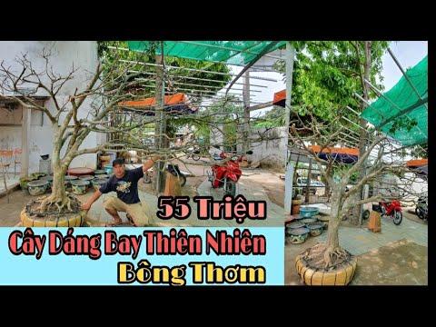 VDS1354: Giao Lưu Cây Bay Thiên Nhiên Đẹp Bông Thơm & đã giao lưu