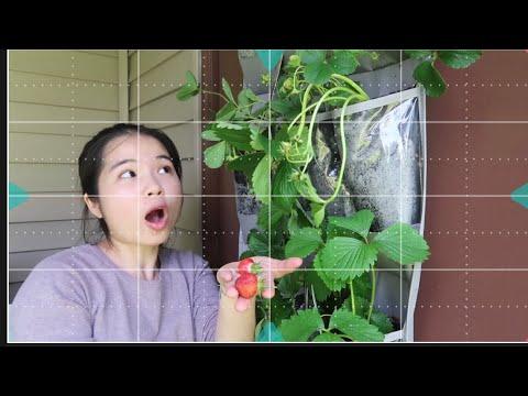 Vlog 631| Trồng Dâu Tây Bằng Giàn Treo Tường Ban Công.Thu Hoạch Trái Dâu Đầu Tiên. Mừng Hết Lớn