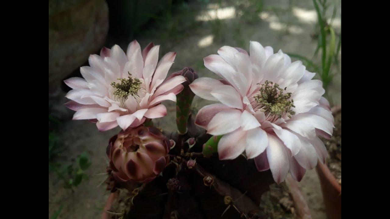 XƯƠNG RỒNG GYMNO   Hoa xinh đẹp nở giữa thân đầy gai góc