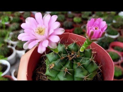 ?? Xương rồng gymno đang hoa #45k - Cây phong thủy