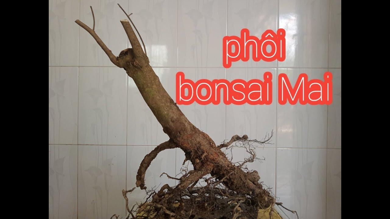 Xử lý phôi bonsai cây Mai vàng