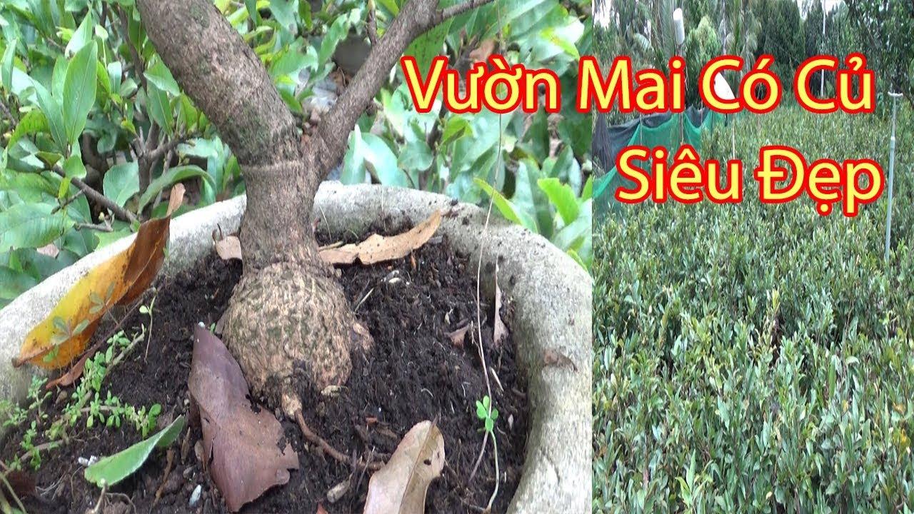 Xem Vườn Mai Mini Để Bàn Gốc Nhớt Rể Quấn Siêu Đẹp Chuẩn Bị tết 2020 - Bến Tre (P3) Phần 1