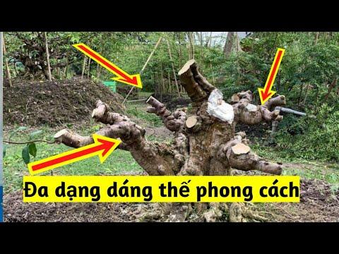 Xem cách bắt chi cành dáng thế Bonsai Mai Chiếu Thủy của Nghệ nhân Trần Cao Đệ    Bonsai Garden