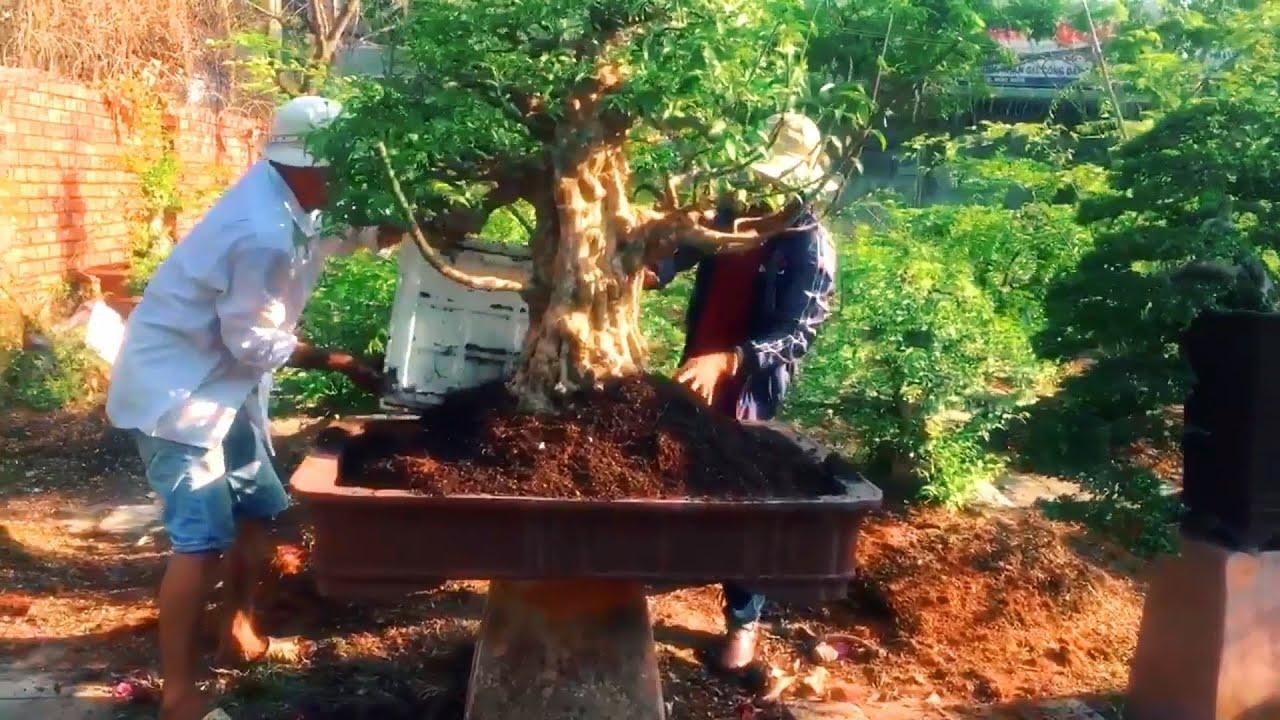 Xem nhà vườn lên chậu cho một cụ Mai Chiếu Thủy thế nào || Vườn kiểng anh Chánh
