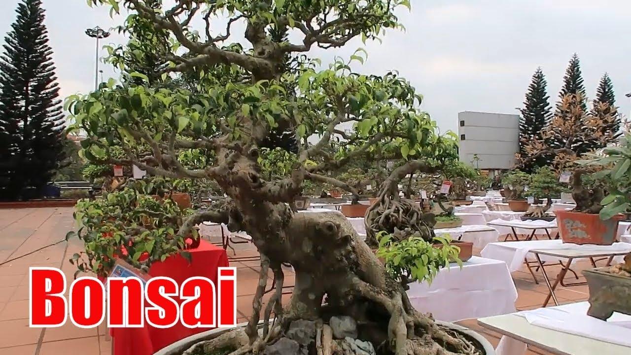 bonsai xmas tree, xem cây cảnh đẹp, dang tien thuy