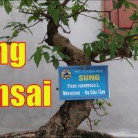 cây Sung bonsai dáng trực lắc ra quả tại đền đô Bắc Ninh | dang Tien Thuy