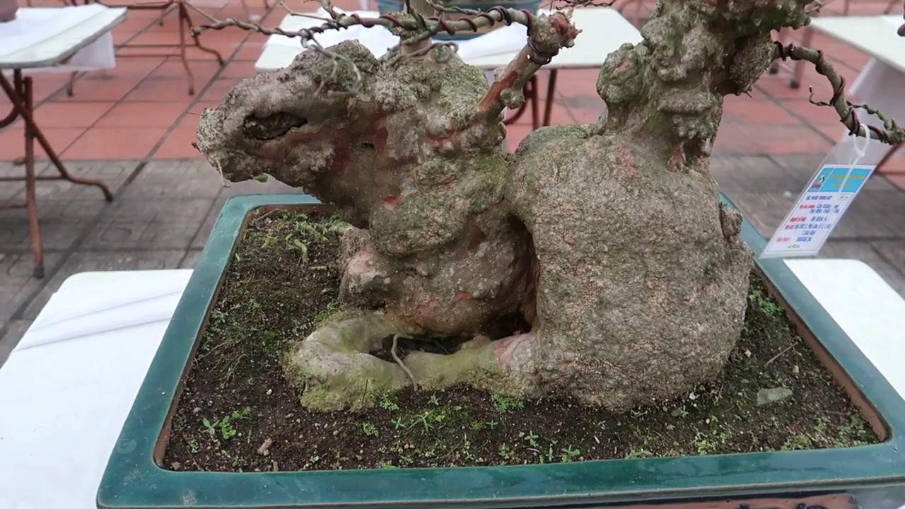 cây bonsai thỏ mộc trường tồn, bằng lang cổ bonsai, dang tien thuy