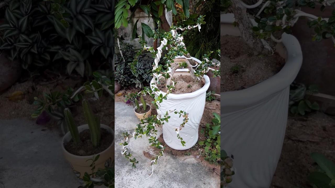 cây cảnh cần chuyển nhượng (xam trái .trắc dây .hải châu .sim rừng)