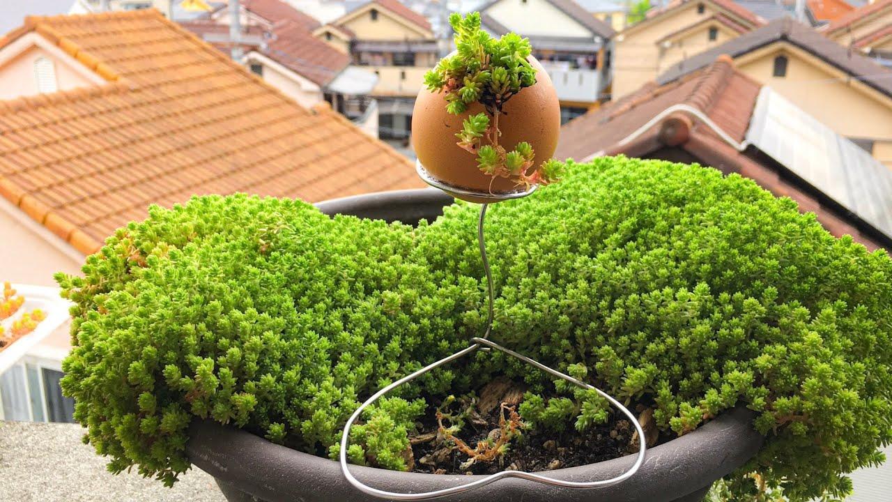 hướng dẫn trồng cây trong vỏ trứng .làm tại nhà .