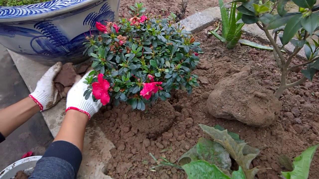 trồng cây hoa đỗ quyên