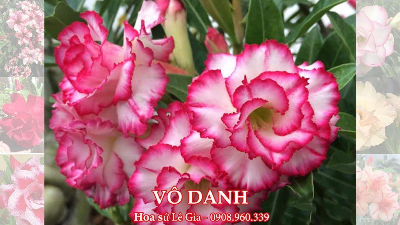 10/07/20 - Nay con bán 33 cây sứ thái đẹp. Giá: 120-300k/cây. Liên hệ: 0908.960.339