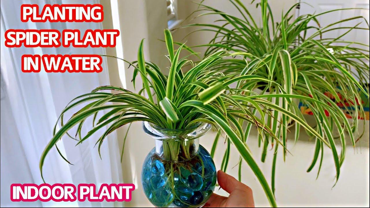 #189 INDOOR PLANT | PLANTING SPIDER PLANT IN WATER | Trồng cây Dây Nhện phong thủy trong nước