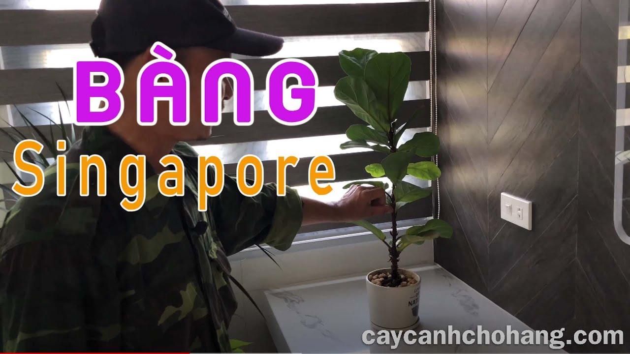 455. Bàng Singapore Tại Nhà Khách Hàng   CÂY CẢNH CHỢ HÀNG   Hải Phòng