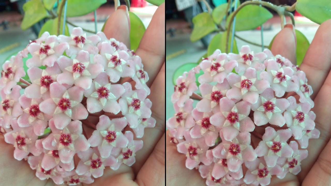 💋💋Cẩm cù hồng, cây to khoẻ nhe cả nhà (80k) - Cây phong thủy