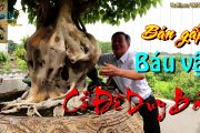 Chiêm ngưỡng cây Đề - BẢO VẬT TRẦN GIAN - chủ nhân muốn bán Gấp 💥 Gấp 💥 Gấp 💥