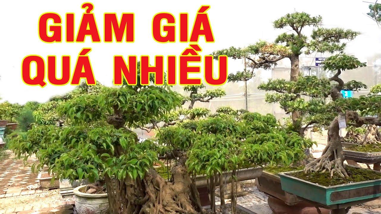 Giảm giá quá nhiều cây cảnh tại vườn, sanh nam điền, tùng, lộc vừng - beautiful bonsai trees, pine