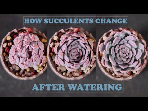 How succulents change after watering - Timelapse| Sen đá biến đổi sau khi tưới nước|다육이들|Suculentas