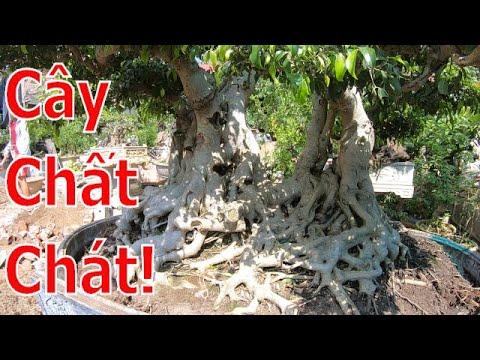✅Lô cây cảnh già cốt chậu hàng chất lượng ra mắt làng cây✔️BShp(Mr.Hoạch 0392098668)