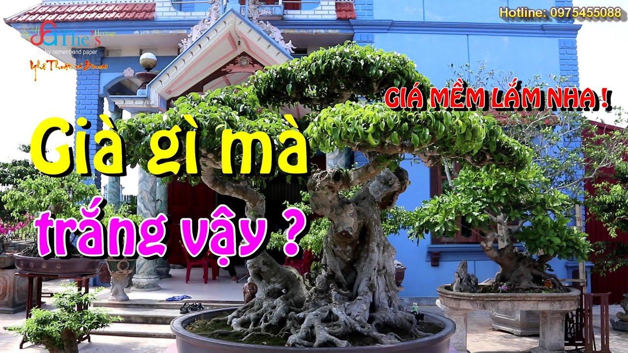 Về Đông Hưng - Thái Bình thăm vườn Mr. Nghiệp, Nhiều cây rất Già, đẹp mà giá cả lại Hợp lý