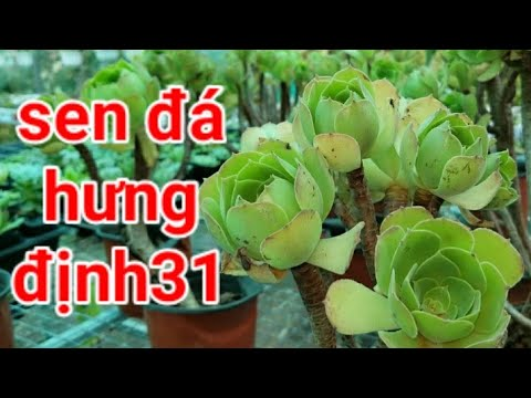 Vườn Sen Đá Hưng Định 31 Thuận An - Bình Dương   Sen Đá Bình Dương   ☎️ 0347 746 026