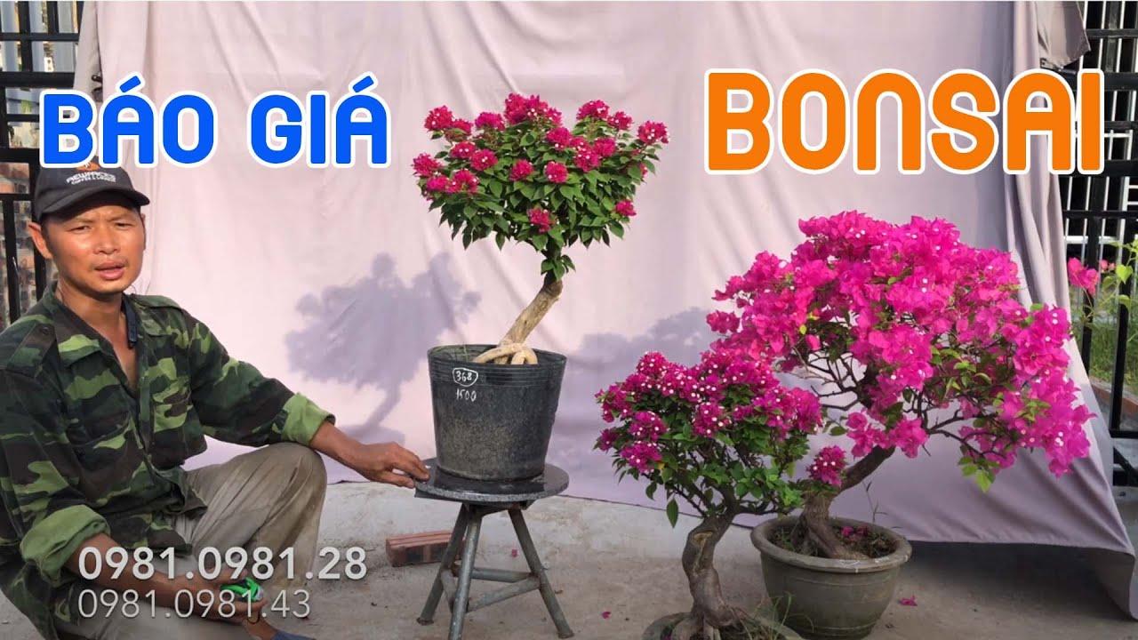450. Báo Giá Bonsai Hoa Giấy Mỹ   CÂY CẢNH CHỢ HÀNG   Hải Phòng