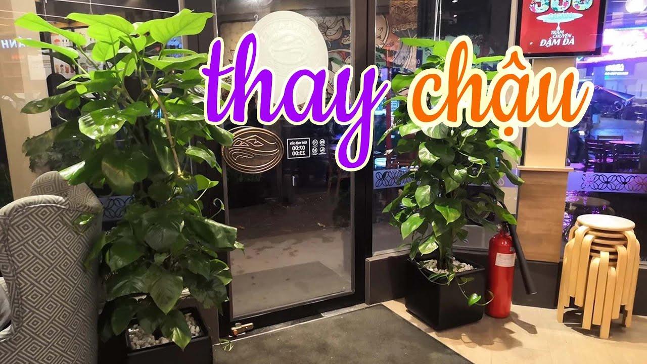Cách Thay Chậu Cây Trầu Bà Siêu Già Và To   CÂY CẢNH CHỢ HÀNG   Hải Phòng   www.caycanhchohang.com