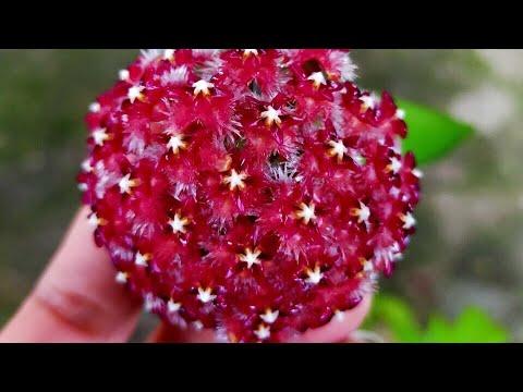 🤗🤗Cẩm cù lông đỏ đang hoa y hình (120k) - Cây phong thủy