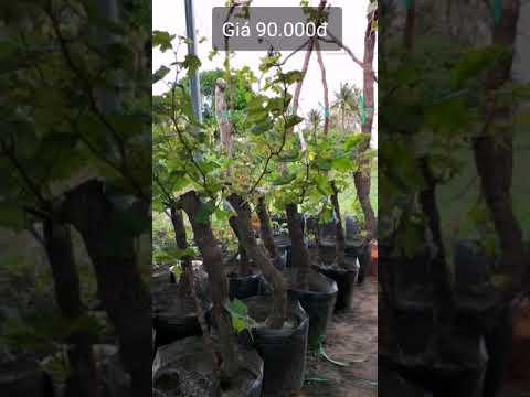 Cây cảnh nhà vườn giá bèo. LH : 0888560108