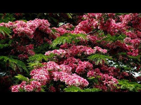 🌽🌽Cây muồng anh đào giống cây đẹp xuất sắc luôn nhe khách (40k) - Cây phong thủy