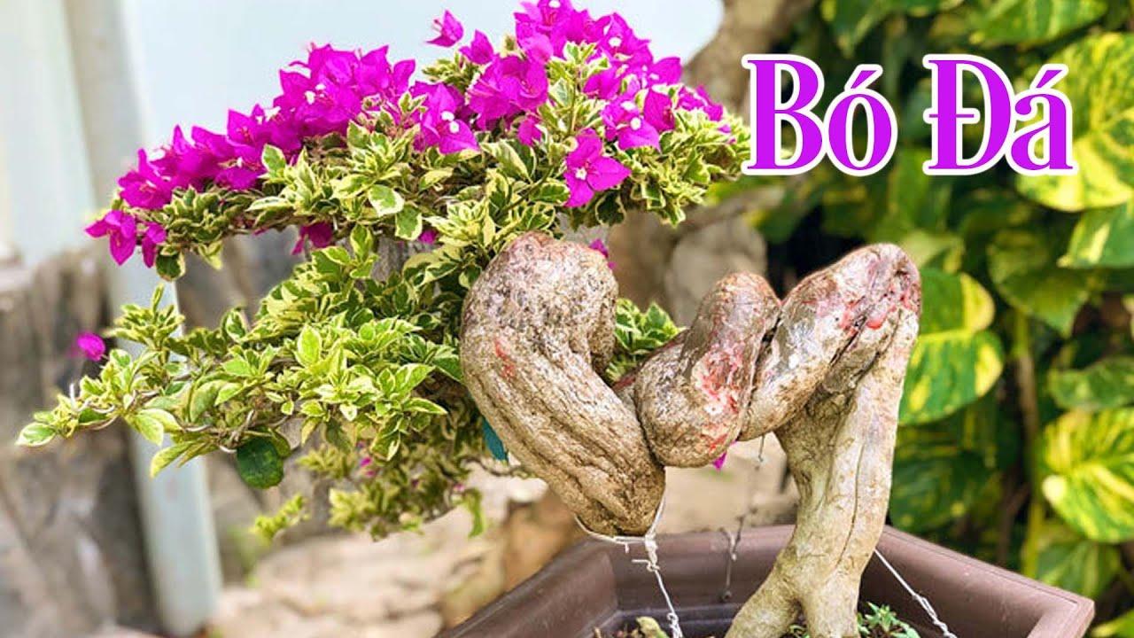 Giới Thiệu Bó Đá Bonsai Cây Hoa Giấy Mỹ   CÂY CẢNH CHỢ HÀNG   Hải Phòng   www.caycanhchohang.com