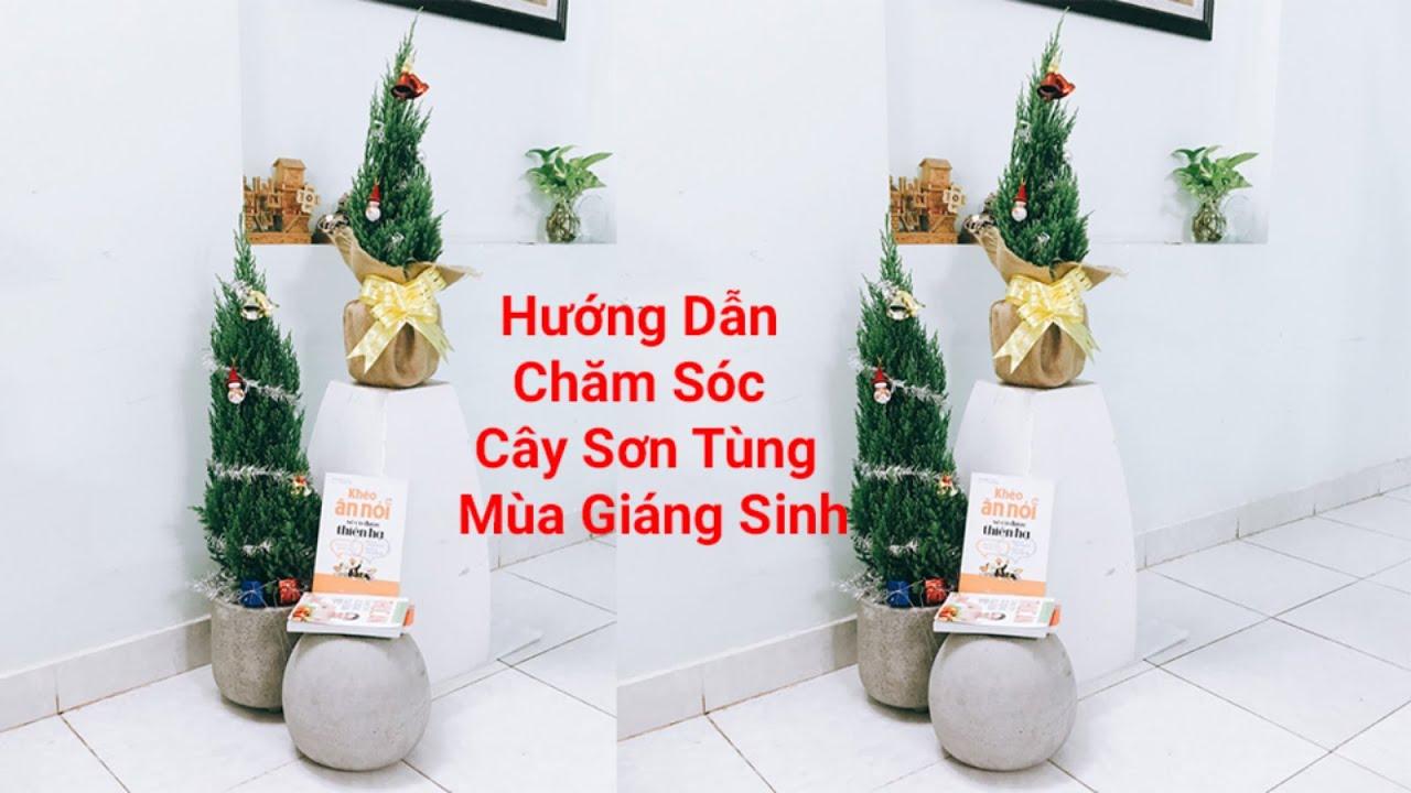 Hướng Dẫn Chăm Sóc Cây Sơn Tùng Mùa Giáng Sinh