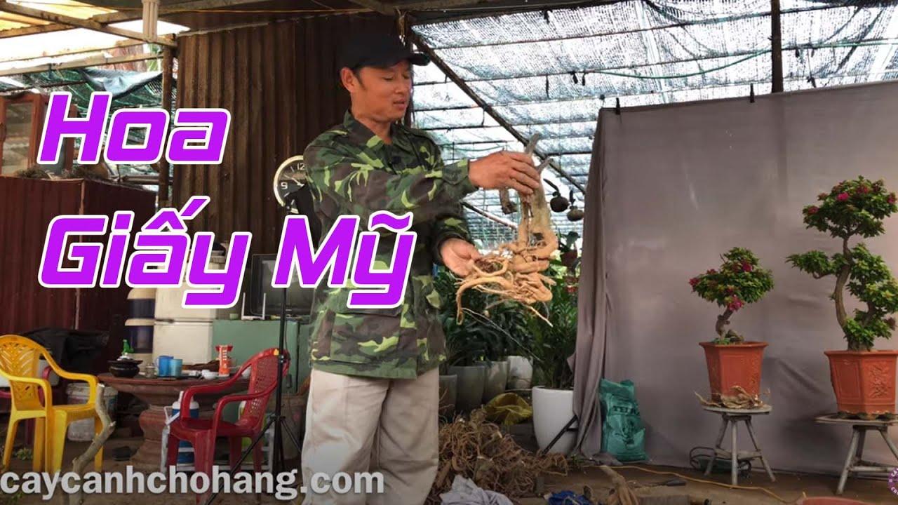 Khai Thác Hoa Giấy Mỹ Từ Mùa Xuân   CÂY CẢNH CHỢ HÀNG   Hải Phòng