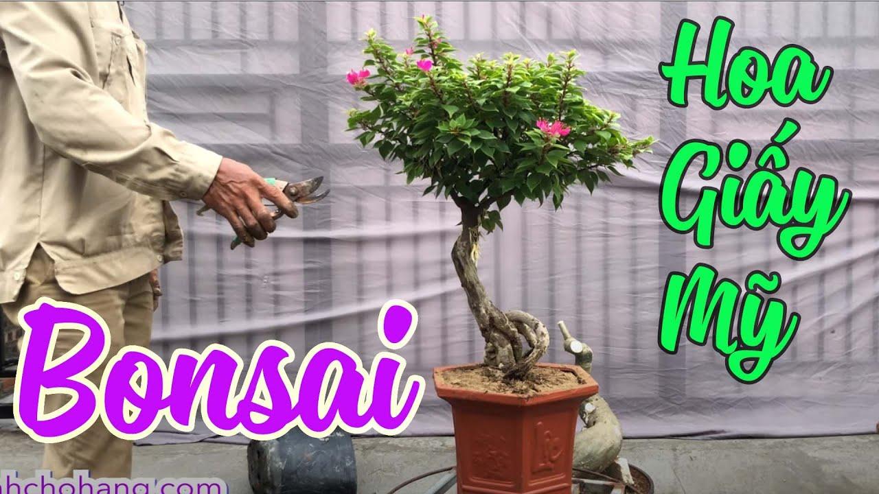 Lên Chậu Tác Phẩm Hoa Giấy Mỹ Bonsai   CÂY CẢNH CHỢ HÀNG   Hải Phòng