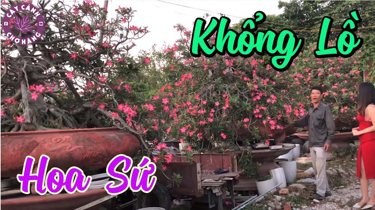 Ngắm 3 Cây Hoa Sứ Lớn Nhất Miền Bắc Việt Nam   CÂY CẢNH CHỢ HÀNG   Hải Phòng