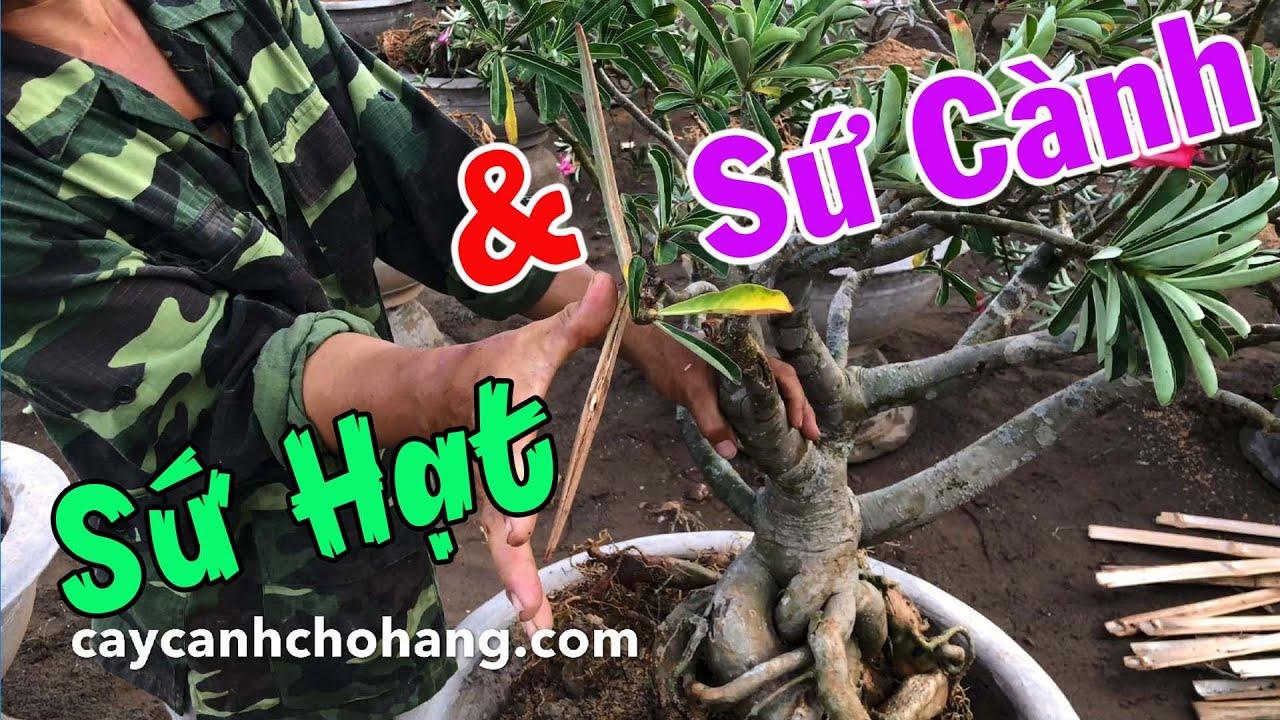 Sứ Hạt Và Sứ Cành Có Những Đặc Điểm Gì?   CÂY CẢNH CHỢ HÀNG   Hải Phòng   www.caycanhchohang.com