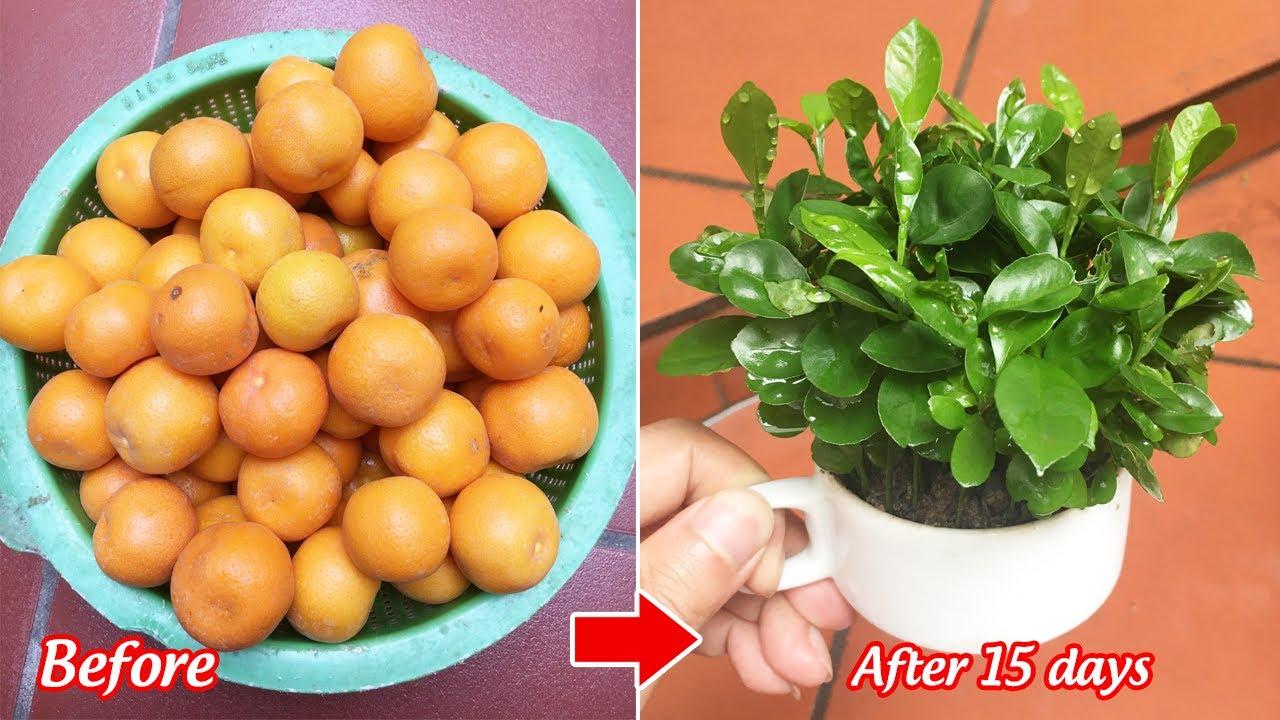 Tận dụng quả quất tết bỏ đi trồng chậu cảnh để bàn cho dân văn phòng