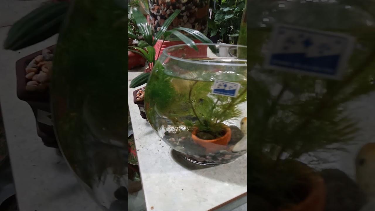 Tiểu cảnh thủy tinh nuôi cá mini cho văn phòng