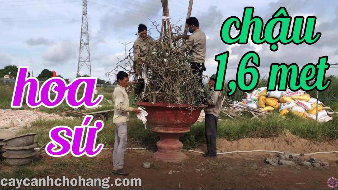 Trồng Cây Hoa Sứ Chậu Đường Kính 1.6 Met   CÂY CẢNH CHỢ HÀNG   Hải Phòng