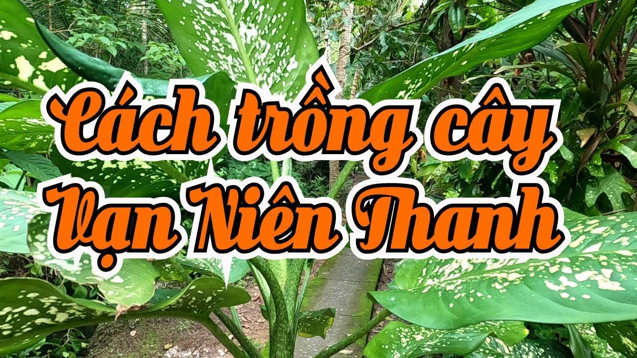 Trồng cây VẠN NIÊN THANH và chậu thật đơn giản   Đồng Quê Garden