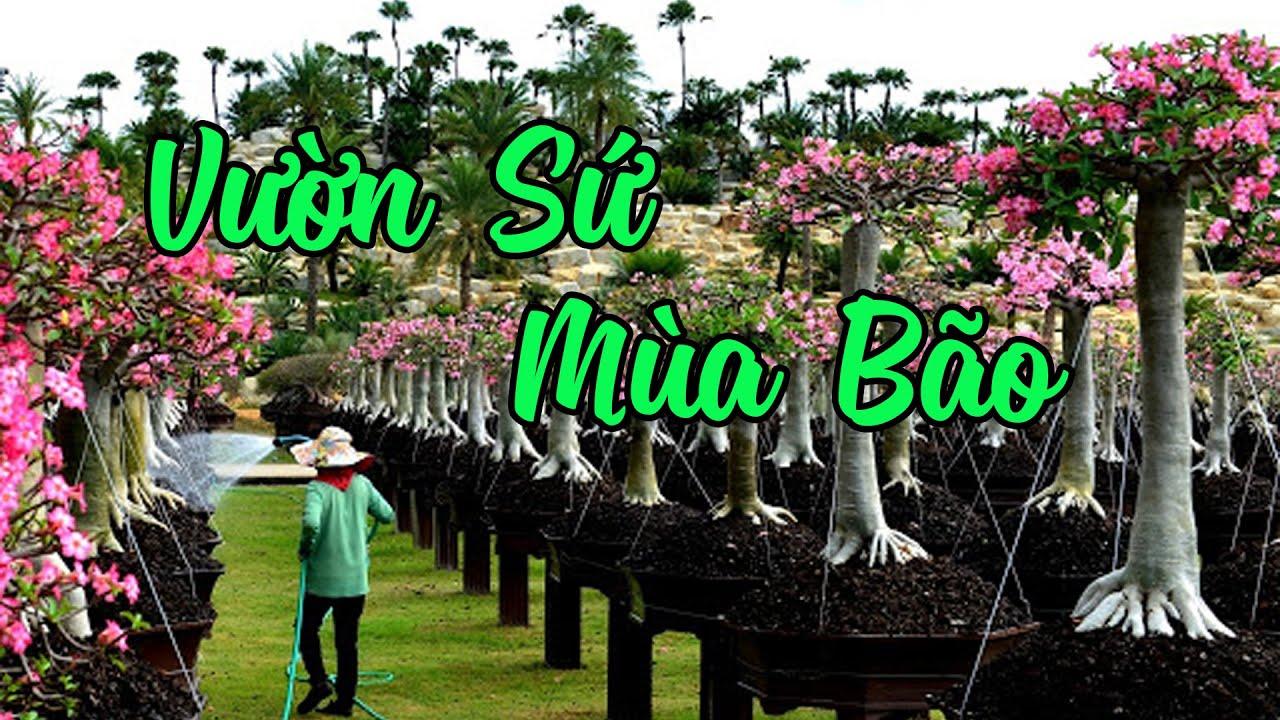 Vườn Hoa Sứ Đón Mùa Bão Đầu Tiên   CÂY CẢNH CHỢ HÀNG   Hải Phòng