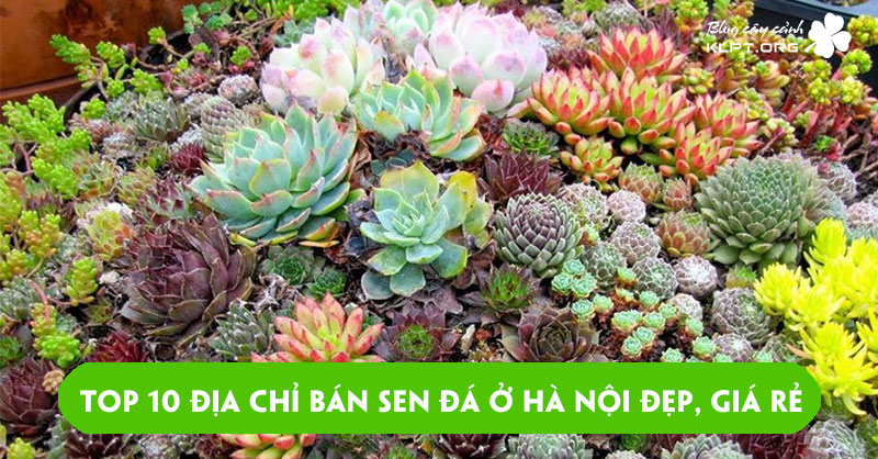 top-10-dia-chi-ban-sen-da-o-ha-noi-dep-gia-re-nhat