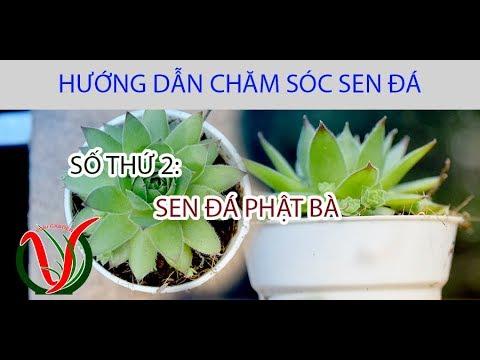 Vuki Garden| Hướng dẫn chăm sóc sen đá | Sen đá phật bà (How to care for succulents - Sempervivum)