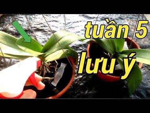 CÁCH CHĂM SÓC LAN HỒ ĐIỆP SAU KHI CHƠI TẾT TUẦN 5 - How to Care for Your Phalaenopsis Orchid