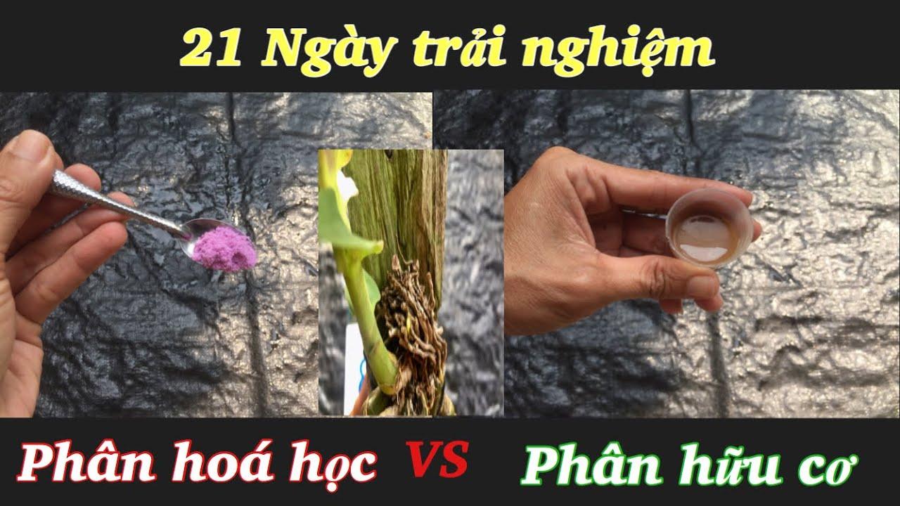 21 ngày trải nghiệm trồng hoa lan bằng phân hữu cơ và phân hóa học - Ký sự trồng lan tập 1