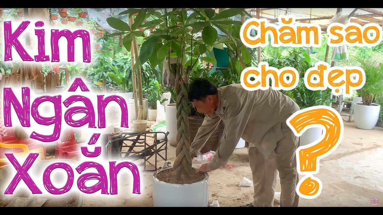 25. Kim ngân thân xoắn bện để sàn (Phần 1) Hướng dẫn trồng và chăm sóc - Cây cảnh Chợ Hàng