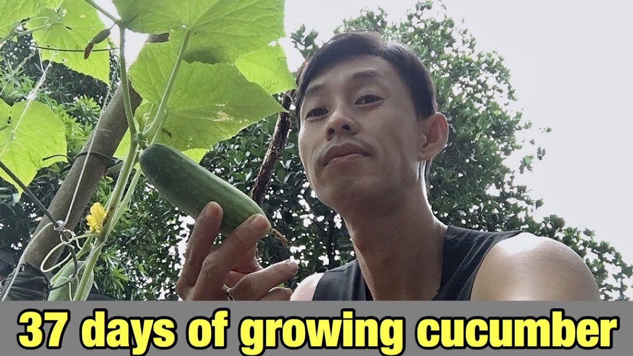 37 ngày trồng dưa leo trong chậu | 37 days planting cucumber in pots