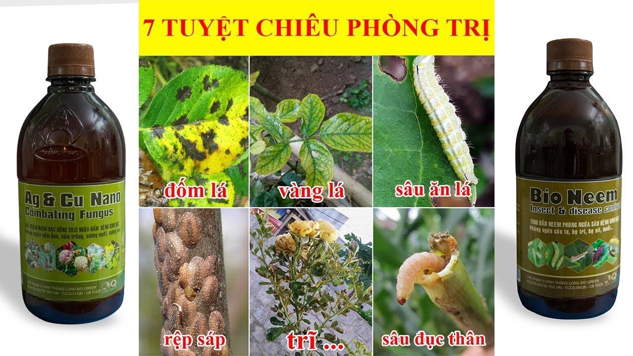 7 TUYỆT CHIÊU PHÒNG TRỊ BỆNH cho cây khi CHĂM SÓC hoa hồng ngày hè